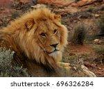big lion lying on savannah grass   Shutterstock . vector #696326284