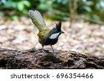 Small photo of Eastern Whipbird standing on a fallen log in an Australian rainforest