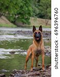 Small photo of Malinois portrait in the watter.