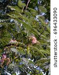 Small photo of A flowering Persian Silk tree (Albizia julibrissin), with its pink flowers, growing in Cismigiu Park, Bucharest, Romania.