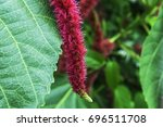 Red Hot Cat's Tail Flowers