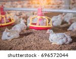 White Chickens At A Chickenfarm.