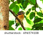 Small photo of Rufous-collared Kingfisher (Actenoides concretus)
