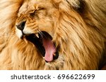 Stock photo roaring yawing lion 696622699