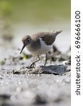 Small photo of Common sandpiper (Actitis hypoleucos) in Eempolder Eemnes in the Netherlands
