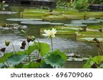 Small photo of American lotus or pale yellow white flower with bowl shaped leaves and giant lily pads in the background. Scientific Name Nelumbo lutea