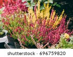 bush of calluna plant with pink ... | Shutterstock . vector #696759820