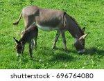 Little Donkey Eats Grass On Th...