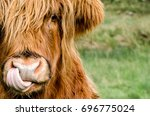 a highland coo licking his nose ... | Shutterstock . vector #696775024