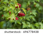 Bunch Of Red Berries Of...