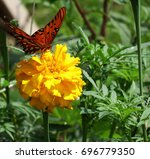 Gulf Fritillary  Scientific...