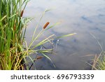 Typha  Bulrush Or Cattail  ...
