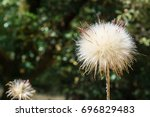 Close Up Of Thistle Puff Ball ...