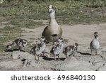 Mama Egyptian Goose With Five...