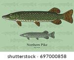 northern pike. vector... | Shutterstock .eps vector #697000858