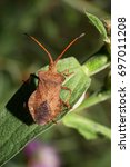 Small photo of Macro with long whiskers of Caucasian brown bug bug berry Dolycoris baccarum sitting green leaf of cornflower plant in summer