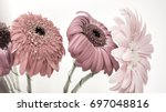 many withered gerbera in dull... | Shutterstock . vector #697048816