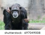 Female Chimpanzee Portrait...