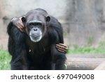 Female Chimpanzee Portrait...