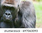 lowland silverback gorilla... | Shutterstock . vector #697063093