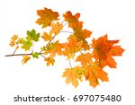 branch of autumn maple leaves... | Shutterstock . vector #697075480