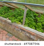 parsley 'envy'  petroselinum... | Shutterstock . vector #697087546