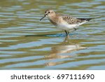Baird's Sandpiper Wading In Th...