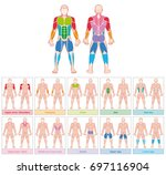 muscle groups   chart with... | Shutterstock .eps vector #697116904