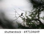 pied kingfisher | Shutterstock . vector #697134649