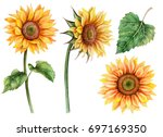 Watercolor Set Of Sunflowers ...