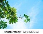 milk flower  hoa sua    a...   Shutterstock . vector #697233013
