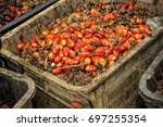 close up of fresh oil palm... | Shutterstock . vector #697255354