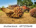 close up of fresh oil palm... | Shutterstock . vector #697255648