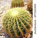 Small photo of Closeup to Parodia Magnifica Cactus/ Cactaceae, Succulent and Arid Plant.