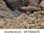 endemic lava lizard rests on... | Shutterstock . vector #697306678