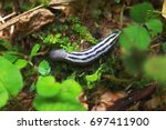 big purple slug on green plants. | Shutterstock . vector #697411900