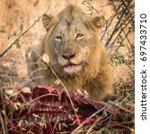 male lion at a kudu kill in... | Shutterstock . vector #697433710