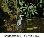 grey heron  ardea cinerea ...   Shutterstock . vector #697456468
