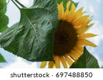 sunflower against the sky | Shutterstock . vector #697488850