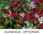 beautiful blooming bougainvillea | Shutterstock . vector #697529620