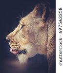 lioness | Shutterstock . vector #697563358