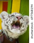 Small photo of baby white tiger roaring