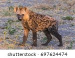 young male spotted hyena   Shutterstock . vector #697624474