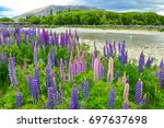 lupins  the purple flowers in... | Shutterstock . vector #697637698
