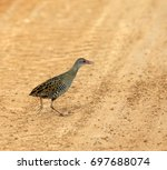 Small photo of African Crake walking across the road.