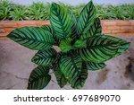 green leaf  calathea ornata... | Shutterstock . vector #697689070