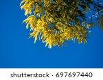 Small photo of Beautiful yellow wattle in blue sky, Acacia Longifolia
