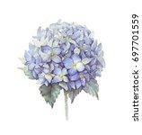 hydrangea watercolor blue | Shutterstock . vector #697701559