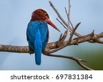 Small photo of Very close up of White-throated Kingfisher (alcyon smyrnensis) in nature