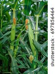 Small photo of corn in the cob